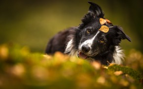 Picture autumn, language, look, face, leaves, nature, pose, background, foliage, portrait, dog, blur, yellow, bokeh, yellow …
