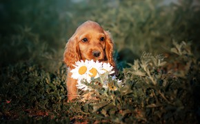 Picture flowers, chamomile, puppy, face, doggie, Ekaterina Kikot
