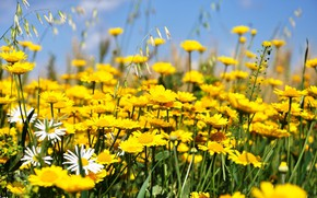 Picture flowers, meadow, yellow flowers