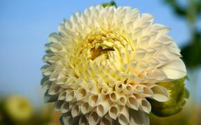 Picture flower, leaves, macro, background, petals, garden, white, Dahlia, lush, bright, dahlias, Dahlia
