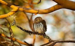 Picture nature, bird, Northern Pygmy Owl