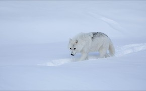 Picture winter, snow, wolf, step