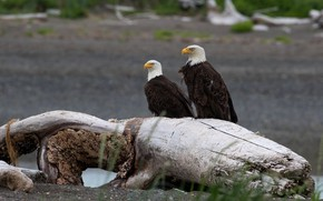 Picture look, birds, tree, shore, predators, pair, eagle, snag, the eagles, two, bald eagle