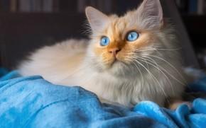 Picture cat, cat, look, face, blue, portrait, blanket, plaid