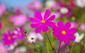 Picture field, summer, flowers, background, glade, bright, petals, pink, bokeh, kosmeya, cosmos