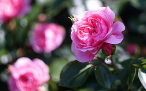 Picture leaves, light, flowers, rose, roses, blur, petals, garden, pink, bokeh