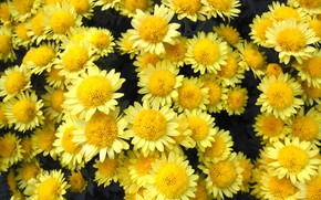 Picture flowers, chrysanthemum, yellow