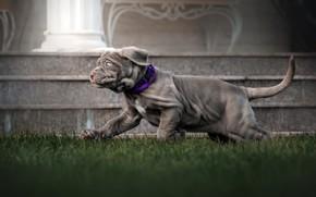 Picture grass, animal, dog, running, puppy, dog, Ekaterina Kikot, мастино