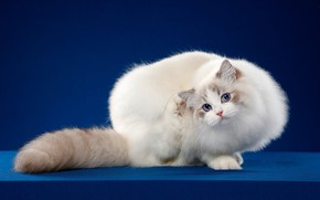 Picture cat, look, pose, kitty, background, muzzle, Studio, Charmer, ragdoll, чешет за ушком