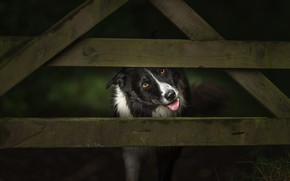 Picture language, look, face, the dark background, Board, the fence, dog, the fence, wooden, triangle, Peeps, …