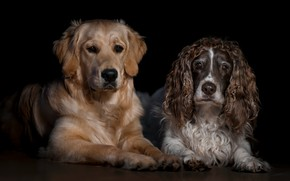 Picture dogs, look, face, two, portrait, pair, black background, a couple, Duo, friends, lie, Spaniel, Retriever, …