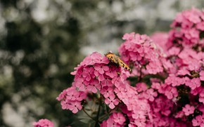 Picture flowers, background, butterfly, garden, pink, bokeh, Phlox