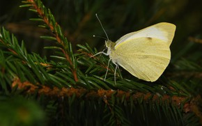 Picture summer, macro, nature, butterfly, the limonite