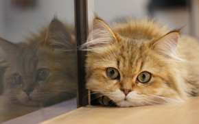 Picture cat, cat, look, glass, reflection, muzzle, cat