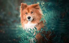 Picture look, face, leaves, nature, green, background, portrait, dog, red, bokeh, the eurasier