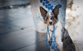 Picture look, face, glass, pose, background, blue, pattern, street, tile, portrait, dog, leash, the sidewalk, photoshoot, …