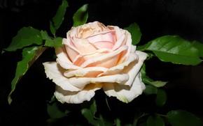 Picture close-up, rose, petals, roses