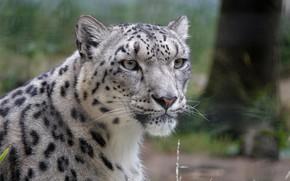 Picture snow leopard, snow leopard, IRBIS
