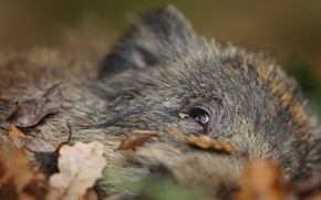 Picture autumn, look, face, leaves, close-up, background, foliage, wool, lies, boar, young, Peeps, hog, pig, pig, …