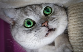 Picture cat, cat, look, close-up, kitty, fangs, face, green eyes, scratching post