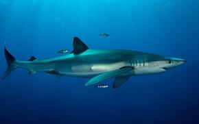 Picture sea, animals, water, fish, fish, the ocean, fish, shark, underwater world, under water, blue, fauna, …