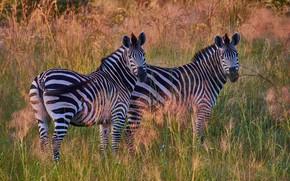 Picture field, grass, the sun, pair, Zebra, striped