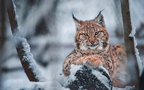 Picture winter, look, face, snow, branches, tree, portrait, log, lynx, snowfall, a small lynx, a small …