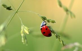 Picture ladybug, beetle, weed