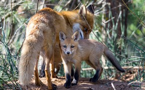 Picture family, Fox, Fox