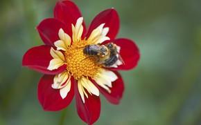Picture flower, macro, bumblebee, Dahlia