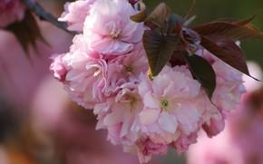 Picture leaves, macro, cherry, branch, spring, Sakura, flowering, flowers