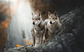 Picture autumn, dogs, look, nature, pose, stones, background, rocks, together, leaf, waterfall, dog, pair, wolves, grey, …