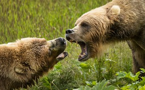 Wallpaper greens, summer, grass, look, nature, portrait, bear, mouth, pair, fangs, aggression, two, muzzle, evil, roar, ...