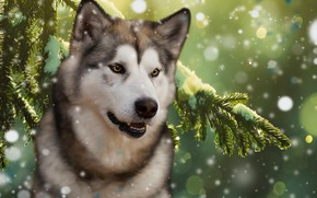 Picture forest, background, spruce, dog, Malamute
