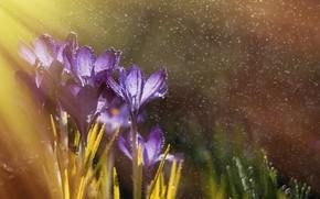 Picture drops, macro, light, flowers, nature, rain, spring, crocuses, bokeh, saffron