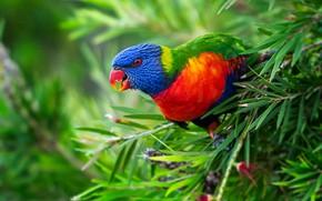Picture leaves, branches, bird, parrot, Multicolor lorikeet, Rainbow lorikeet