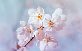 Picture macro, flowers, spring, Apple, spring, apple tree, blooming, Raimond Klavins