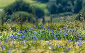 Picture field, summer, flowers, nature, mood, rye, spikelets, blue, ears, flowering, cereals, field, blue, barley, bokeh, …