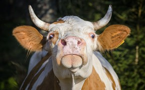 Picture horns, head, cow