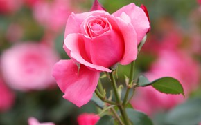 Picture flower, leaves, pink, rose, bokeh