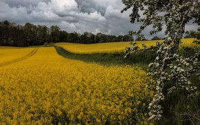 Picture forest, summer, clouds, flowers, branches, tree, spring, track, flowering, path, rape, rapeseed field