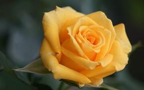Picture macro, rose, petals, Bud, yellow