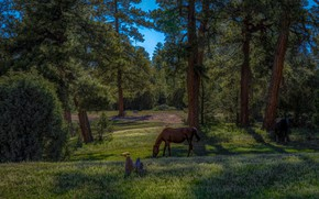 Picture forest, trees, landscape, nature, glade, horses, horse, pine, grazing