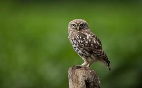 Picture bird, column, little owl
