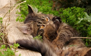 Picture cat, grass, cat, look, kitty, legs, lies, Board