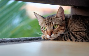 Picture cat, cat, look, face, leaves, grey, background, portrait, shelter, lies, striped, green eyes, bokeh, blurred