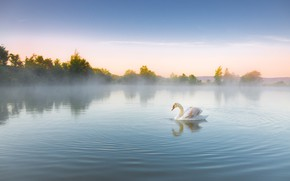Picture white, fog, reflection, bird, shore, morning, Swan, pond, swimming