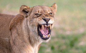 Picture face, mouth, lioness