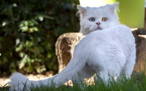 Picture cat, white, grass, cat, look, nature, pose, haircut, tail, face, rear view, bokeh, odd-eyed, Angora