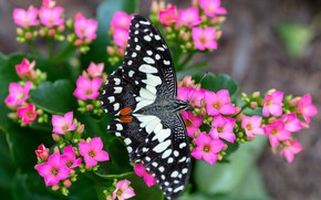 Picture macro, flowers, butterfly, pink, spotted